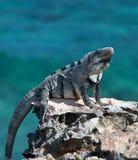 在Isla Mujeres蓬塔苏尔Acantilado在坎昆墨西哥附近的del Amanecer -黎明的峭壁的一点安替列斯群岛鬣鳞蜥- 图库摄影