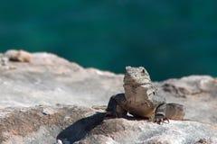 在Isla Mujeres蓬塔苏尔Acantilado在坎昆墨西哥附近的del Amanecer -黎明的峭壁的一点安替列斯群岛鬣鳞蜥- 免版税库存图片