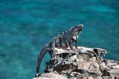 在Isla Mujeres蓬塔苏尔Acantilado在坎昆墨西哥附近的del Amanecer -黎明的峭壁的一点安替列斯群岛鬣鳞蜥- 免版税库存照片