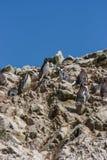 在Islas Ballestas, Paracas半岛的洪堡企鹅,每 库存图片