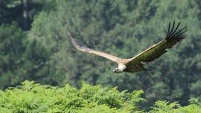 在Jaizkibel的兀鹫 库存图片
