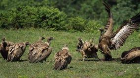 在Jaizkibel的兀鹫 免版税库存照片