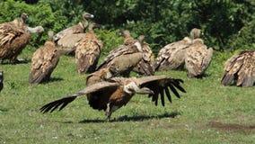 在Jaizkibel的兀鹫 免版税库存图片