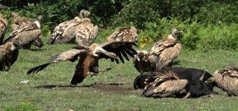 在Jaizkibel的兀鹫 库存照片