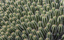 在Jardin de Cactus的婴孩仙人掌 免版税图库摄影