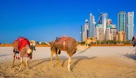 在Jumeirah海滩的backround的骆驼和摩天大楼在迪拜 免版税库存照片