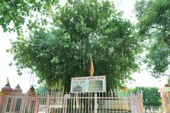 在Jyotisar, Kurukshetra的神圣的榕树 库存图片