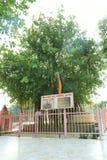 在Jyotisar, Kurukshetra的神圣的榕树 免版税库存照片