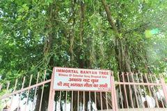 在Jyotisar, Kurukshetra的神圣的榕树 库存照片