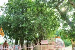 在Jyotisar, Kurukshetra的神圣的榕树 图库摄影
