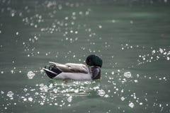 在Königssee的公鸭子 免版税图库摄影