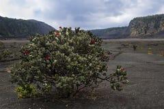 火山口灌木 库存图片