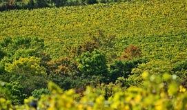 在Kahlenberg,维恩附近的葡萄园 库存照片
