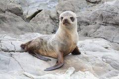 在Kaikoura岩石的海狮幼崽  免版税库存图片