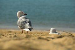 在Kaiteriteri海滩的海鸥 免版税库存照片