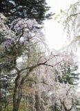 在Kakunodate,秋田, Tohoku,日本武士区的充分地开花的啜泣的樱桃blossomsshidarezakura在春天 库存照片