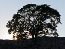 在Kalemegdan堡垒墙壁在日落,贝尔格莱德里面的符号大老树 免版税图库摄影