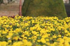在Kalemegdan的美丽的美丽的黄色花 免版税库存图片