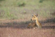 在Kanha国立公园,中央邦,印度的母沼泽鹿 免版税库存照片
