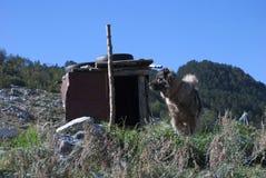 在Kapetanovo湖,黑山附近的一只护羊狗 免版税库存图片