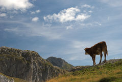 在Kapetanovo湖,黑山附近的一头小的母牛 免版税库存图片