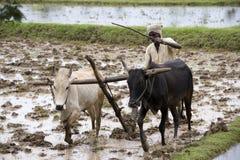 在Karaikudi - Tamil Nadu -印度附近的稻田 免版税库存图片