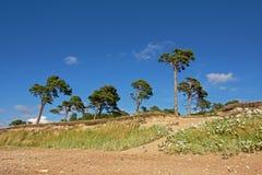 在Karosta附近,利耶帕亚,拉脱维亚海滩的杉树  免版税库存照片