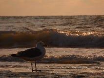在kaspi海的海鸥 免版税库存图片