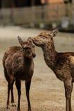 在Kasuga taisha的夫妇鹿在日本祀奉,奈良 库存图片