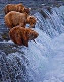 在阿拉斯加的Grizly熊 免版税库存照片
