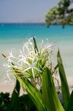 在Kaunaoa海滩的阴影的Crinum百合;大岛;夏威夷 免版税库存图片