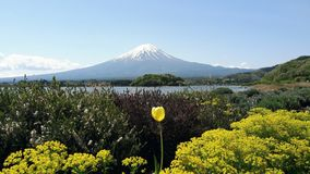 在kawaguchiko湖的黄色花在日本 库存图片