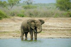 在Kazinga海峡岸的大象 免版税库存图片