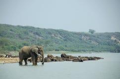 在Kazinga海峡岸的大象 免版税图库摄影