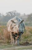 一头有角的犀牛 库存图片
