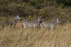 在Kenia的斑马 免版税库存照片
