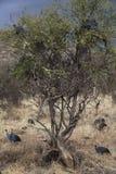 在Kenia的有顶饰Guineafowl 免版税库存图片
