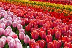 在Keukenhof公园,荷兰开花郁金香 免版税图库摄影