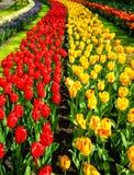 在Keukenhof庭院的美妙的郁金香景象 库存图片