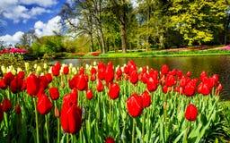 在Keukenhof庭院的美妙的郁金香景象 免版税库存照片