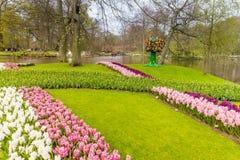 在Keukenhof开花桃红色郁金香和白色风信花小条在公园 库存图片