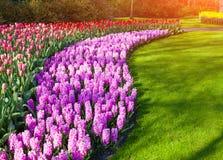 在Keukenhof的奇妙风信花和郁金香花停放 免版税库存照片