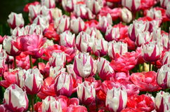 在Keukenhof的桃红色和白色郁金香在荷兰停放 免版税库存照片
