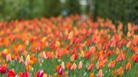 在Keukenhof的红色和橙色郁金香停放背景 被弄脏的pi 图库摄影