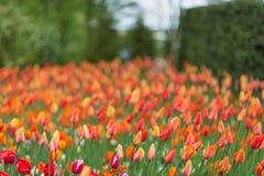 在Keukenhof的红色和橙色郁金香停放背景 被弄脏的pi 免版税库存图片