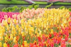 在Keukenhof的黄色,红色和桃红色郁金香停放背景 Sele 免版税图库摄影