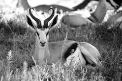 在kgalagadi的一只跳羚 库存照片