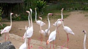 在Khao Kheow开放动物园的白色或桃红色火鸟 泰国 股票录像