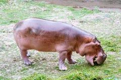 在Khao Kheow开放动物园,芭达亚泰国的河马 免版税库存照片