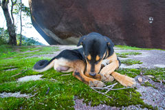 在Khao Soi Dao,庄他武里,泰国的困狗 库存图片